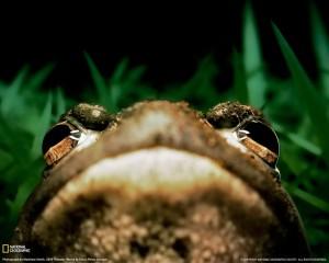 american-bullfrog-grass-klein