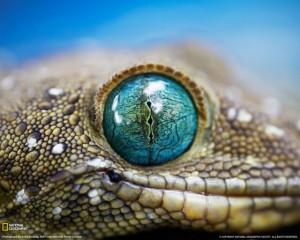 smiths-green-eyed-gecko-klein